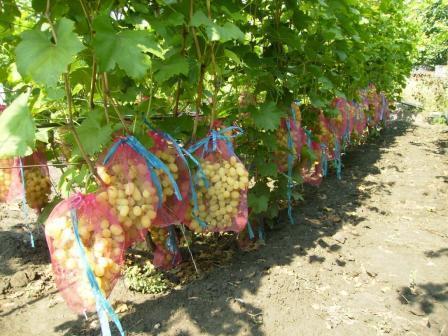 условия для роста винограда
