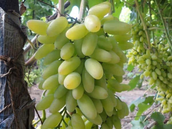 Виноград «дамские пальчики»: описание сорта, фото и отзывы. Основные плюсы и минусы, сравнение с аналогами, характеристики и особенности выращивания в регионах