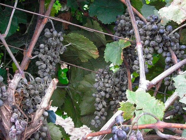 Оидиум винограда фото и чем лечить: препараты от болезни и меры борьбы