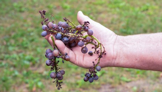 Милдью на винограде: фото болезни и чем её лечить. Меры борьбы от народных средств до химических препаратов, обработка ими весной и устойчивые сорта