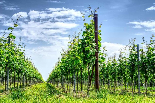 Шпалера для винограда своими руками: как правильно сделать из дерева, металла, пластиковых труб и арматуры. Изготовление и установка опор с фото и чертежами