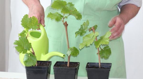 Виноград на балконе: посадка, выращивание и уход пошагово. Можно ли в квартире или крытом помещении и подходит ли девичий или дикий?
