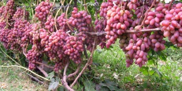 Виноград «преображение» описание сорта, фото, отзывы. Подробная характеристика розового столового гибрида: посадка и урожайность, формировка и нагрузка на куст