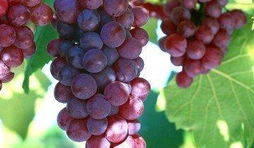 Удобрение винограда