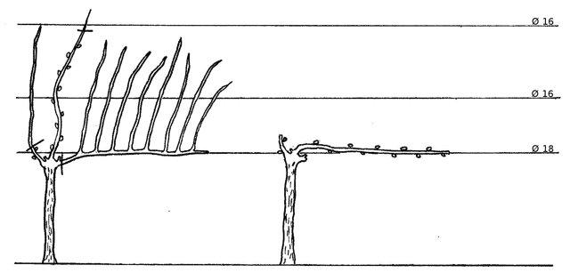 Обрезка винограда осенью: как правильно и в какие сроки - схема и объяснение для начинающих. Когда укрыть на зиму - уход и подготовка