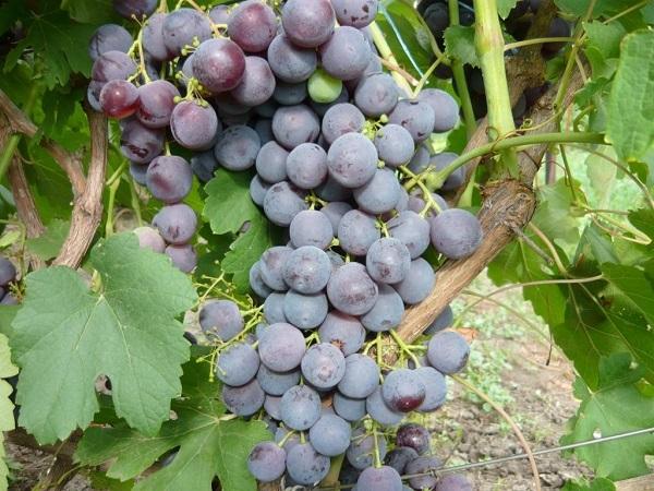 Виноград «рошфор»: описание сорта, фото и отзывы о нем. Основные плюсы и минусы, характеристики и особенности выращивания в регионах