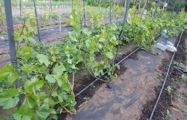 Схема посадки винограда: на каком расстоянии между кустами и рядами выращивать лозу? Планировка при одно и двухплоскотной шпалере, уплотненная и для арок