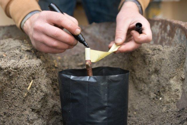 Заготовка черенков винограда весной для посадки: как выбрать подходящую лозу и правильно её нарезать?