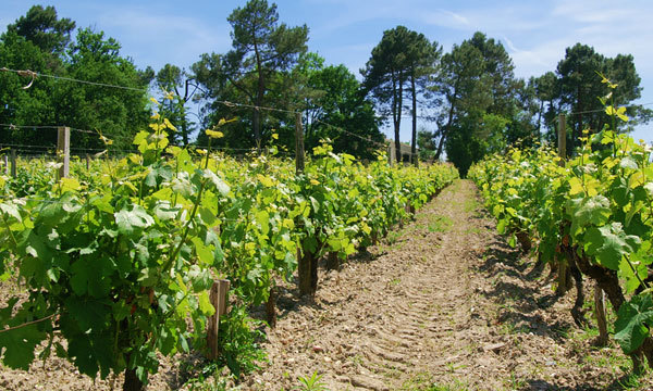 Уход за молодым виноградником