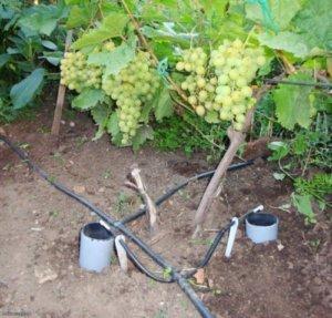 Полив винограда весной, летом и осенью: как и когда поливать саженцы и черенки в бутылках и стаканчиках в домашних условиях? Капельный и через дренажную трубу