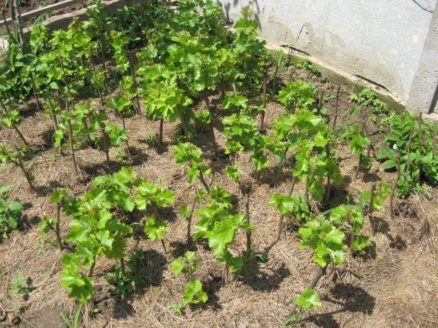 Сорт винограда 1-5-58 Молдавский кардинал описание