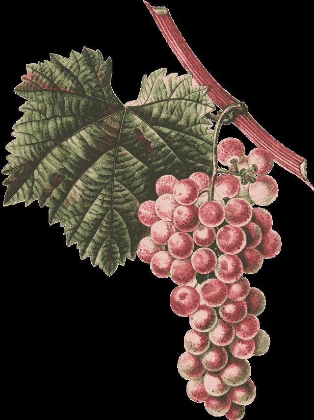 Как сохранить саженец винограда