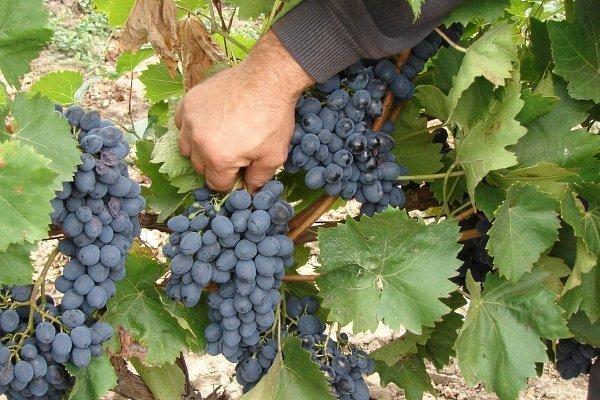 Виноград «молдова»: описание и сроки созревание, болезни, фото и отзывы о нем. Как ухаживать за сортом и какое на вкус из него вино?