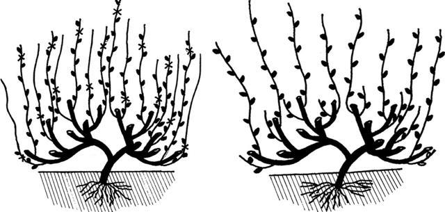 Схема обрезки винограда по годам рисунки, как правильно в первый сезон, двухлетние и трехлетние кусты. Как формировать молодой весной и осенью для начинающих?