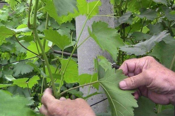 Уход за виноградником
