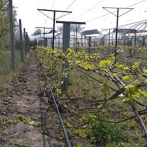 Как подвязать виноград на шпалеру для начинающих весной и летом? Виды размещения: сухая и зеленая на одноплоскостной и других опорах