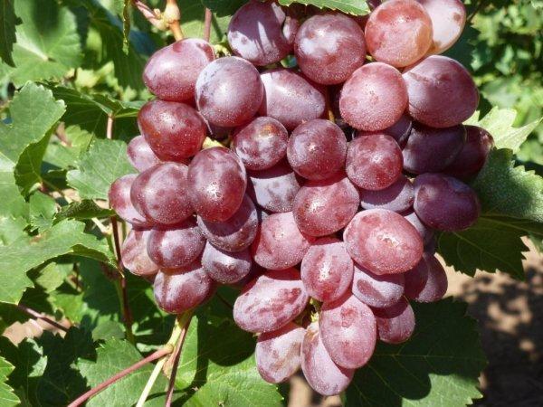 Виноград «виктория»: описание и фото сорта, отзывы о нем. Особенности выращивания в регионах и характеристики: вкус, цвет, устойчивость к болезням
