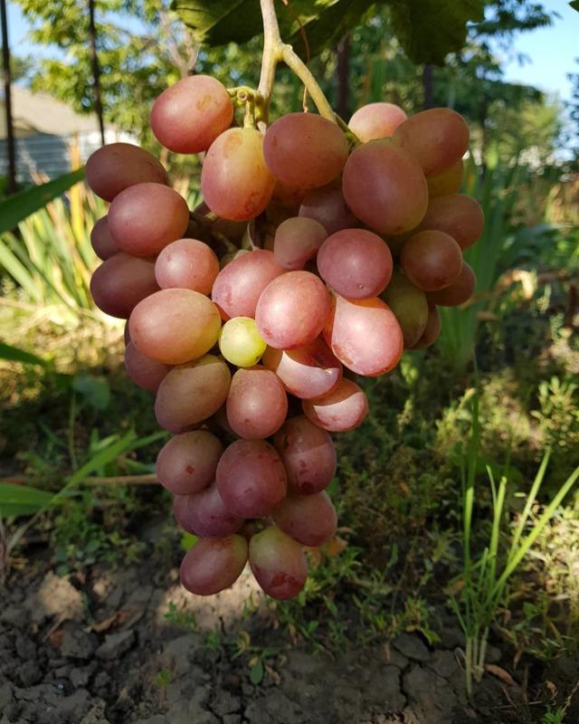 Виноград «ризамат» описание сорта, фото, отзывы. Основные плюсы и минусы, характеристики и особенности выращивания, сравнение с аналогами и хранение урожая