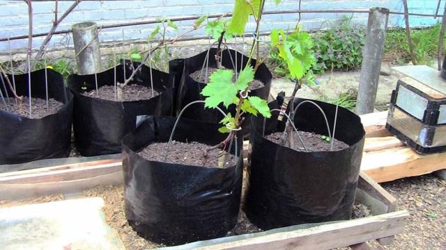 Посадка саженцев винограда весной