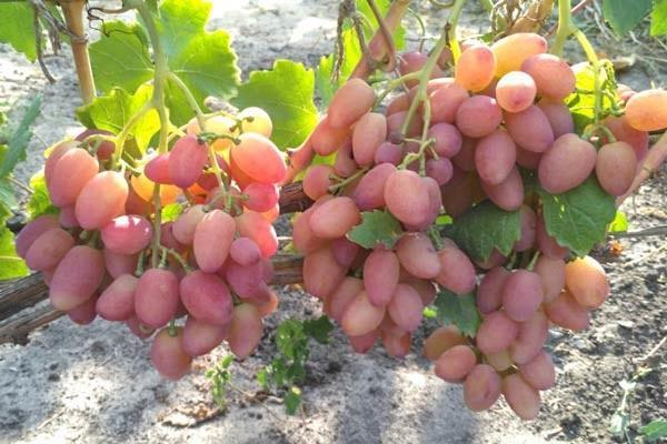 Сорт винограда Анжелика описание, характеристики