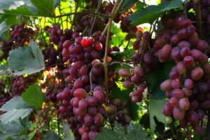 Сорт винограда Шерхан (ХЗЧ Вишневый азиат) описание