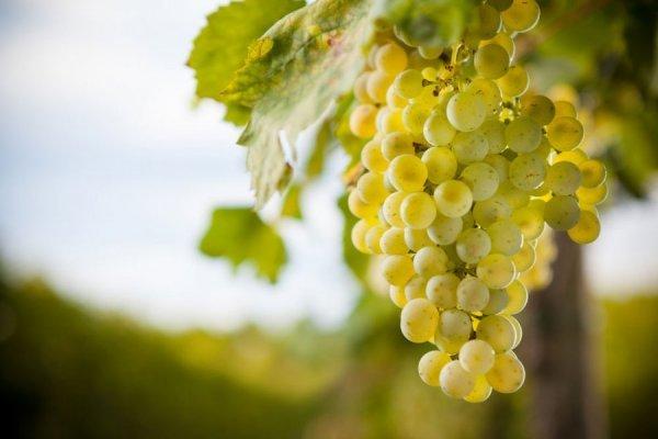 Виноград «кристалл»: описание сорта, фото и отзывы о нем. Основные плюсы и минусы, характеристики и особенности выращивания в регионах