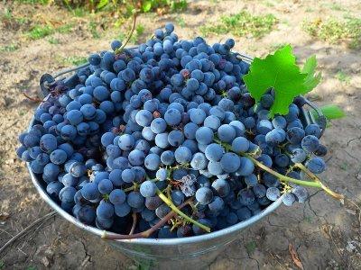 Виноград «изабелла»: описание сорта, фото и отзывы. Основные его плюсы и минусы, срок хранения урожая, характеристики и как правильно обрезать весной и осенью