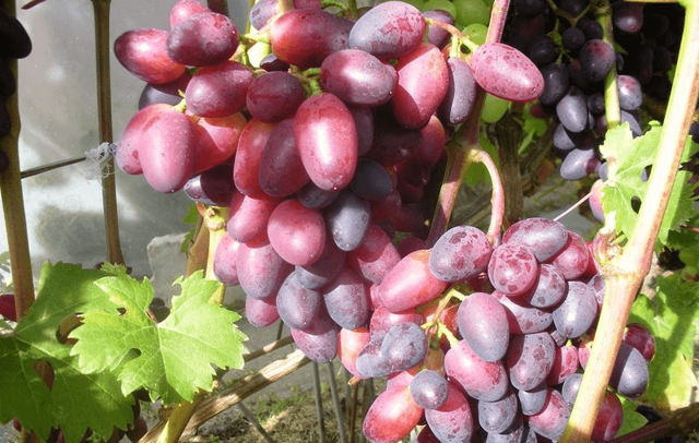 Виноград «красотка»: описание сорта, фото и отзывы о нем. Основные плюсы и минусы, характеристики и особенности выращивания в регионах