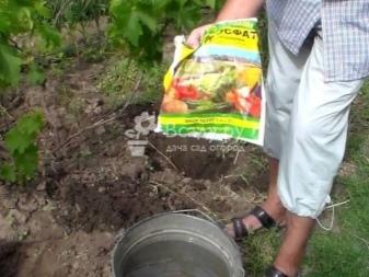 Подкормка винограда: когда и как правильно вносить с весны до осени? Чем лучше удобрять и можно ли: куриным пометом, золой, борной кислотой?
