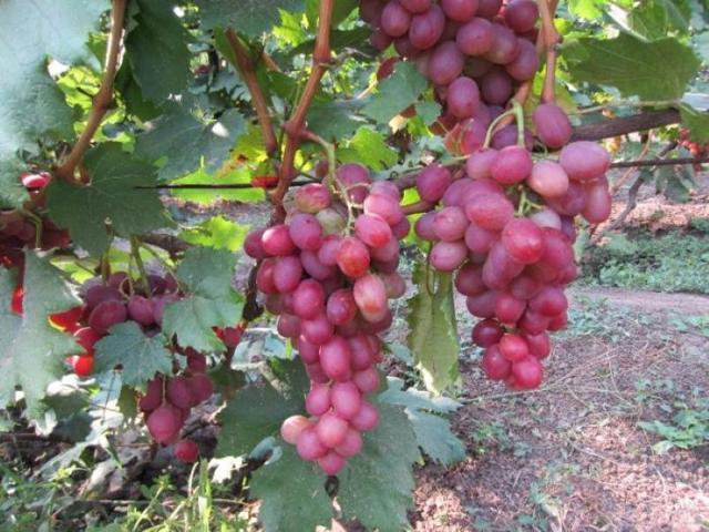 Виноград «анюта»: описание сорта, фото и отзывы о нем. Основные плюсы и минусы, характеристики и особенности выращивания в регионах