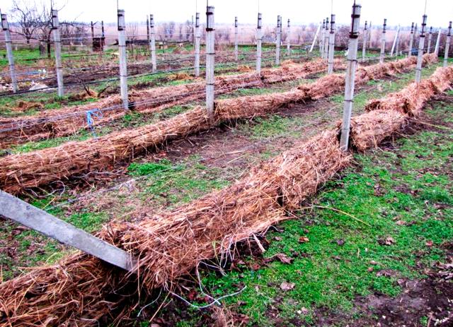 Виноград «монарх»: описание сорта, фото и отзывы о нем. Основные плюсы и минусы, характеристики и особенности выращивания в регионах