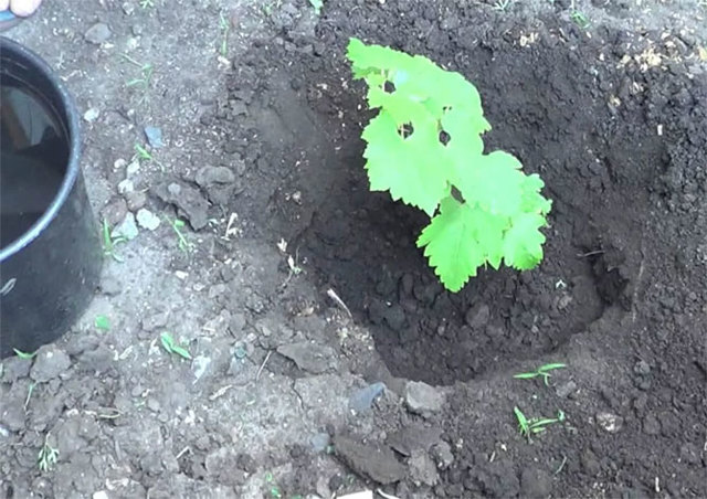 Правильная посадка саженцев винограда