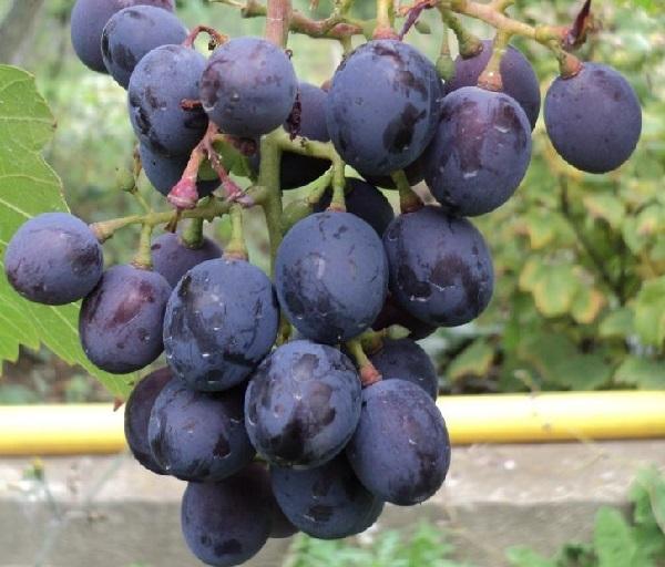 Виноград «кодрянка»: подробное описание и характеристика сорта, нюансы посадки и ухода, фото и отзывы о нём. Качества плодового растения и нагрузка на куст