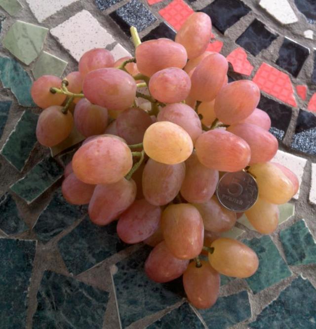 Виноград «ливия»: описание и характеристики сорта, его достоинства и недостатки, особенности выращивания розовых ягод в Подмосковье и регионах
